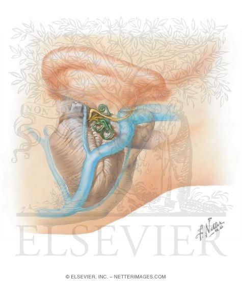 Inner ear fluid adults treatment