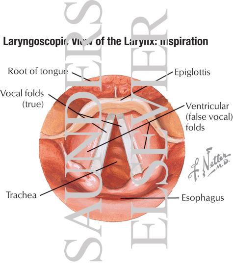 Laryngoscopic View of Larynx Laryngoscopic View of The