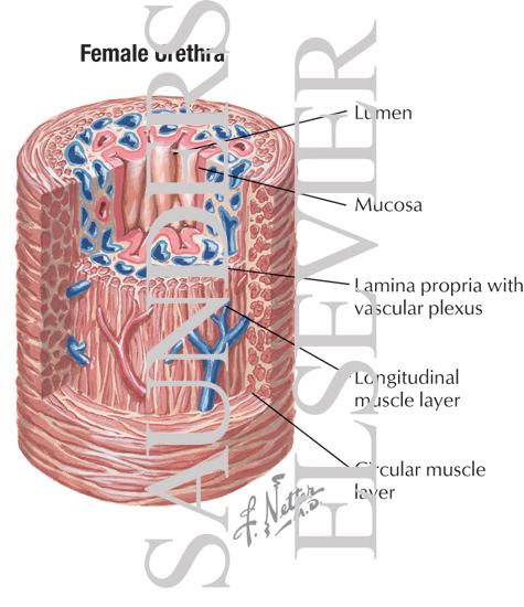 Female+ureter