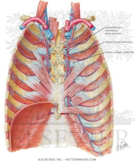 Internal Thoracic Artery