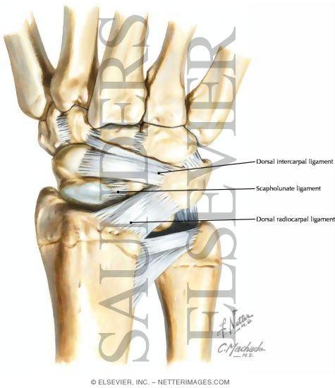 Wrist ligament anatomy