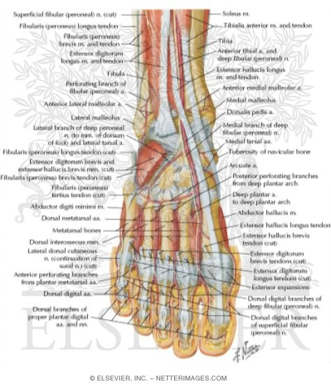 Ankle nerve anatomy