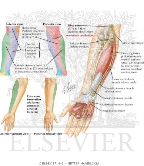 Forearm Nerve Anatomy