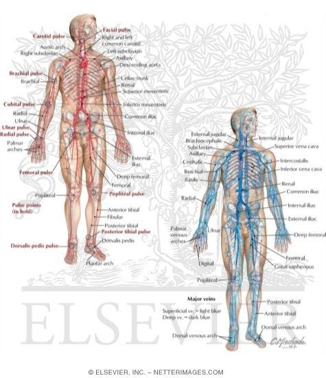 Veins And Arteries Of The Body. nhau,arteries veins Carry