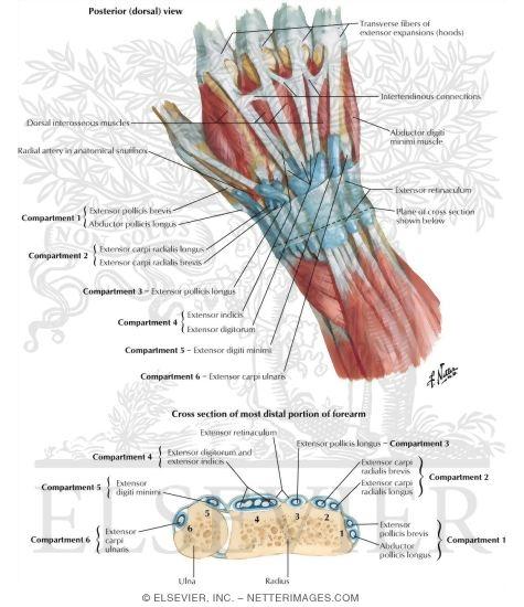 Hand anatomy extensor tendons