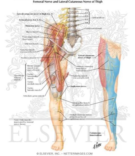 femoral nerve usmle – citybeauty, Muscles
