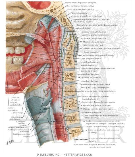 musculsos