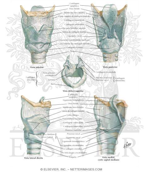 larynx anatomy netter - photo #21