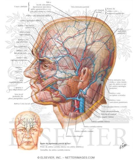Illustration of Artérias e Veias Superficiais da Face e do Couro Cabeludo from the Netter Collection