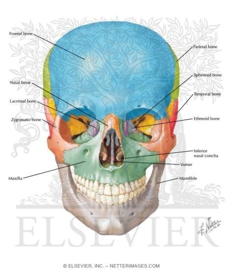 Skull  Anterior View