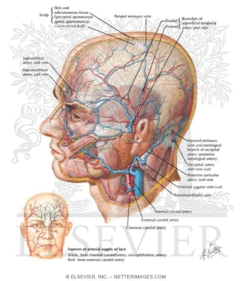 netter head and neck anatomy pdf