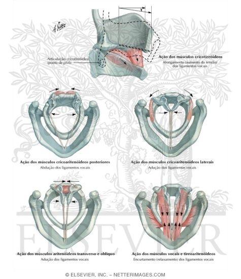 larynx anatomy netter - photo #41