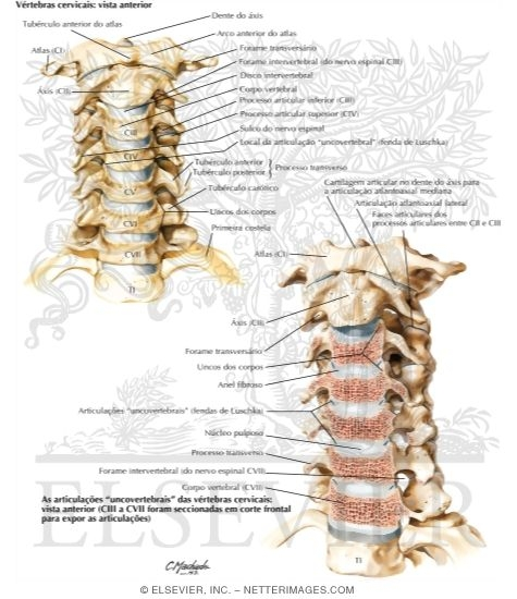 Illustration of Vértebras Cervicais: Articulações
