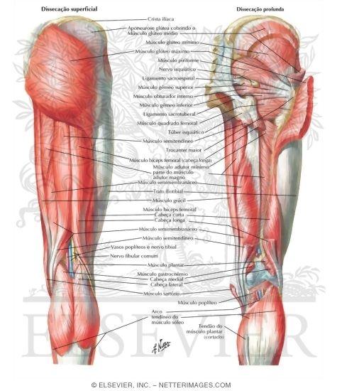 Illustration of Músculos do Quadril e da Coxa: Vistas Posteriores from the Netter Collection