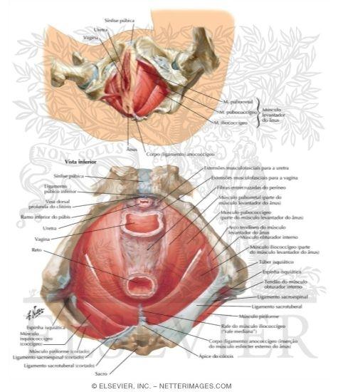 Illustration of Diafragma da Pelve Feminina from the Netter Collection