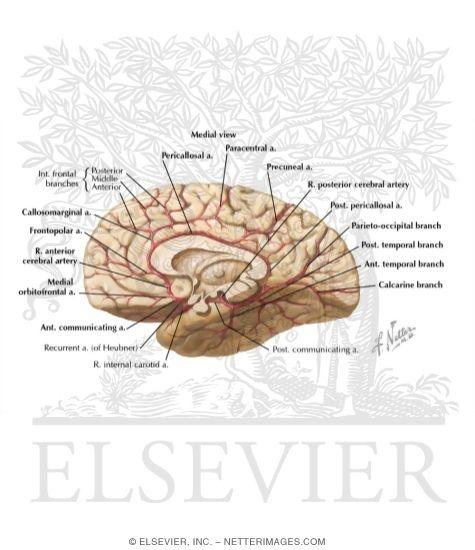 Neuroanatomy Coloring Book: Neuroanatomy colouring pages. Brain ...