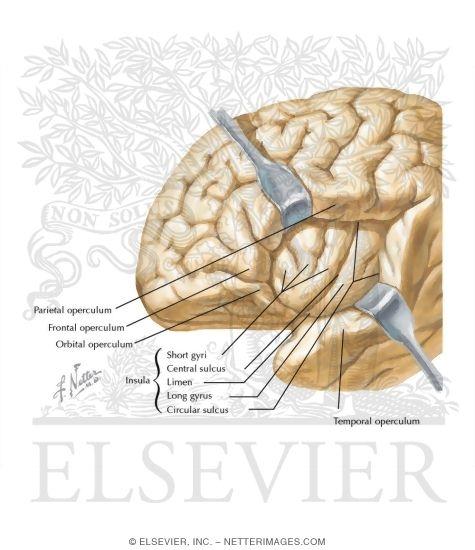 Insular Cortex Insula (insular cortex)