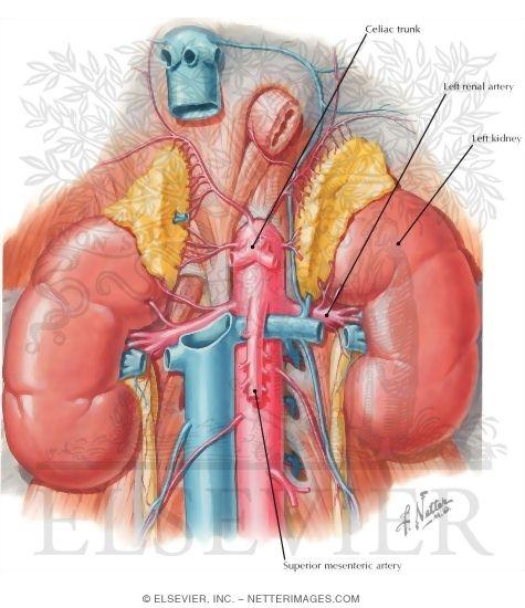 Kidney vascular anatomy