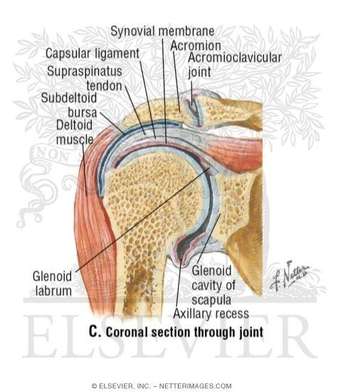 Netter shoulder anatomy