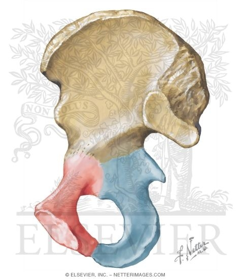 Hip bone unlabeled