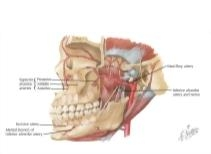 Temporal Region: Maxillary Artery